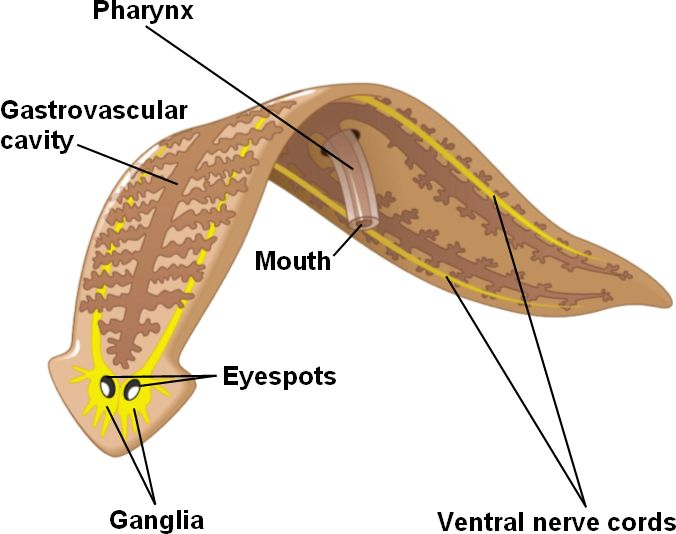 Anatomical Body Cavities further LEC5 furthermore Organs In The Left Lumbar Region 1000 Ideas About Lower Back Anatomy On Pinterest Best Lower further Spring 2006 20Digestive 20system 20with 20figures likewise Location Appendix In Women Body. on ventral body cavity diagram