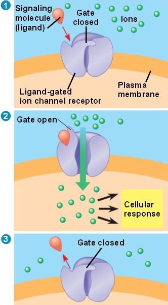ion channel receptors