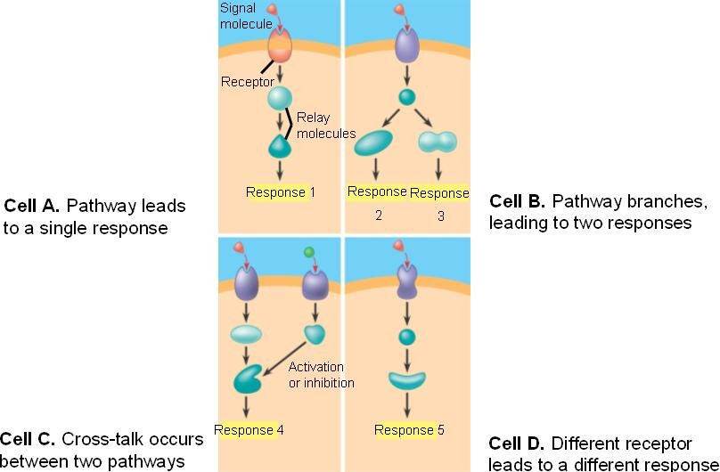 The specificity of cell signaling.