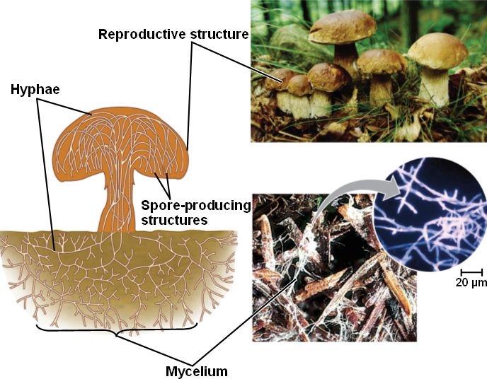 Structure of a fungus