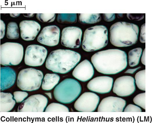 collenchyma tissues Ground tissue is the name for a number of different kinds of tissue of plants collenchyma tissue sclerenchyma tissue.