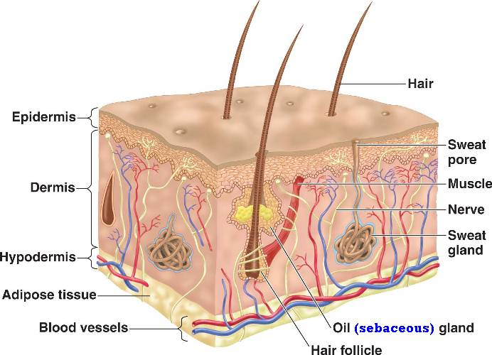 Summer School Biology Project: Integumentary System Resources ...