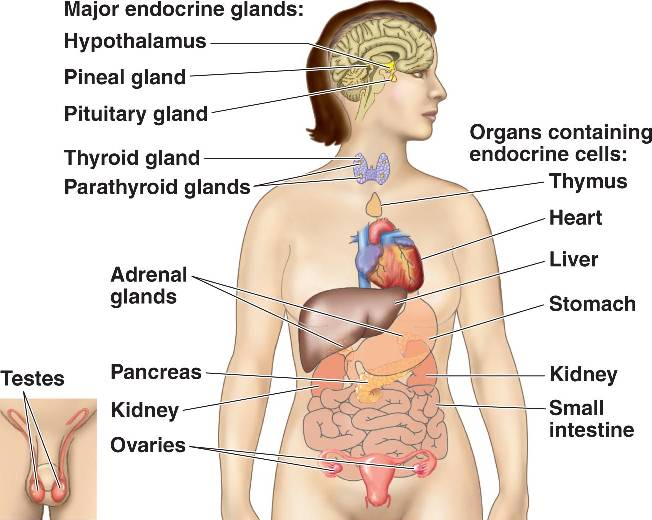 Glands in human body and their functions pdf 1 the organ systems of the human body and their functions organ system major organsparts functions 1 integumentary system skin hair sweat glands ccuart Choice Image