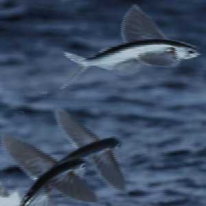 Dvd bbc life disc 1 fish 2010 for Where do flying fish live